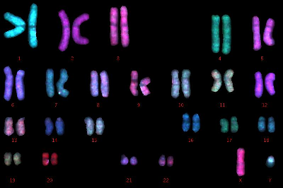 The human genome consists of 46 chromosomes.